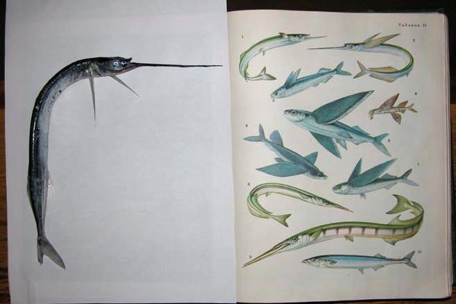 Чудище оказалось рыбой-иглой