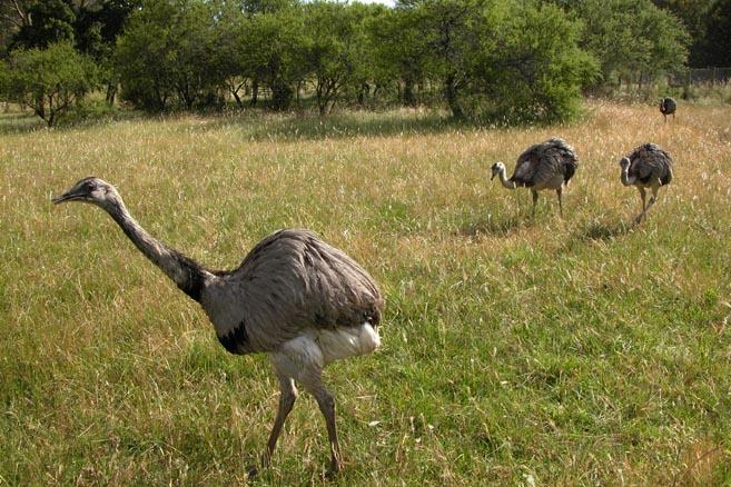 Просто страусы