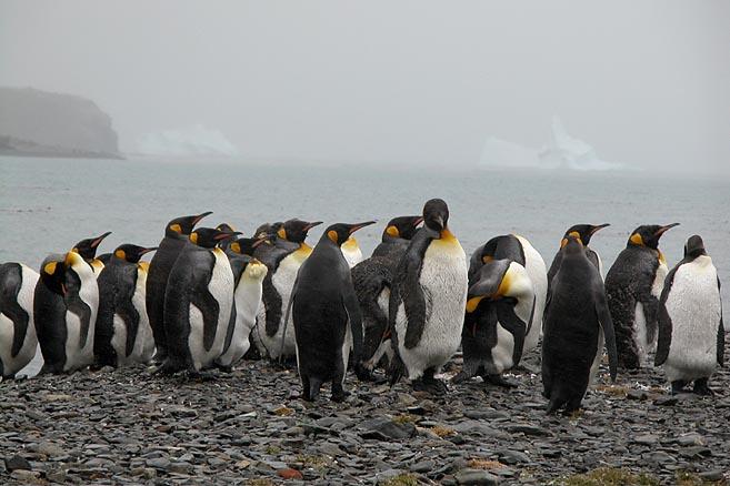 Вместе с тюленями на острове живет популяция пингвинов