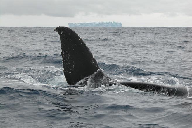 Декорацией к китовому аттракциону служили красавцы-айсберги