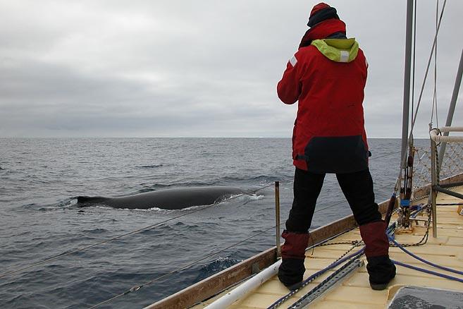 ...но очень общительный и самый энергичный среди больших китов.