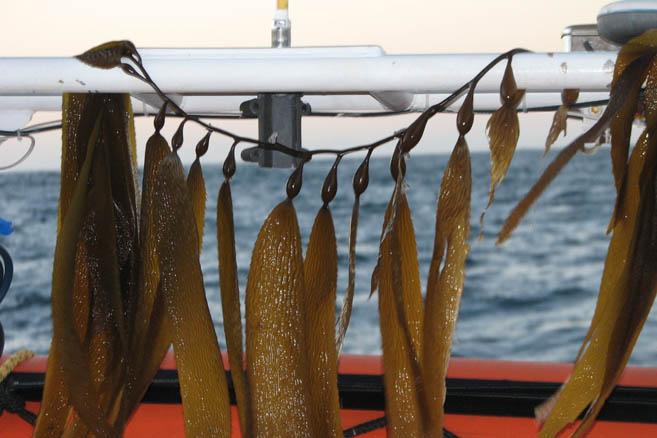 С незапамятных времён ламинария используется в питании людей, живущих у моря