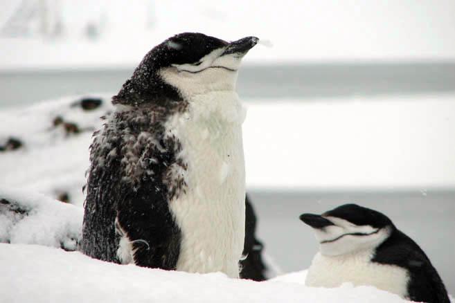 Неуютно стало даже пингвинам