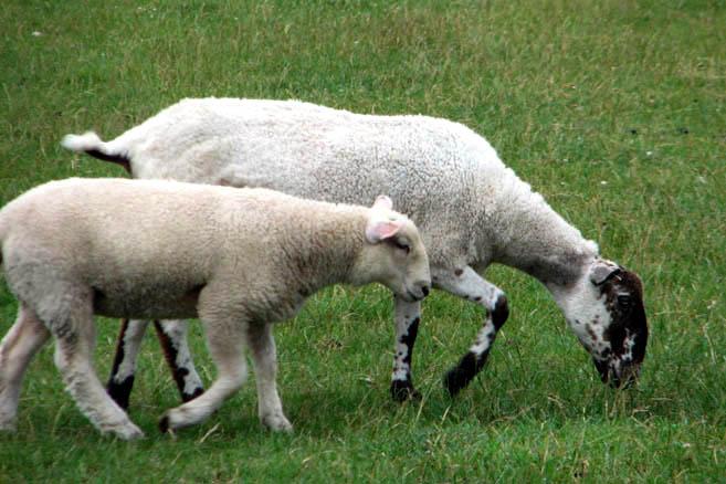 Овцы на пустошах Дартмура