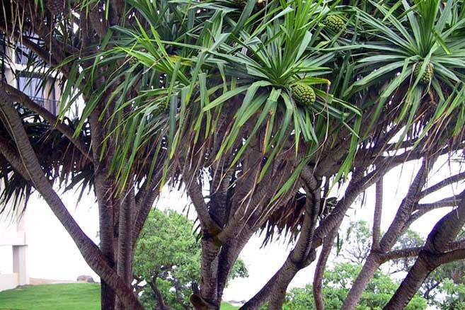 Гаваи. Хлебное дерево