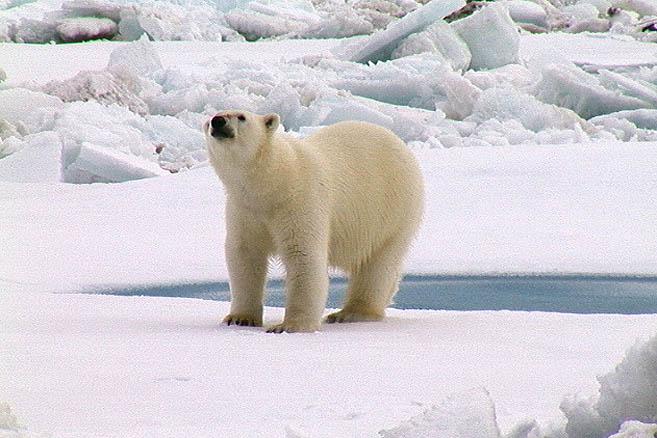 Очередной визит любопытного медведя,..