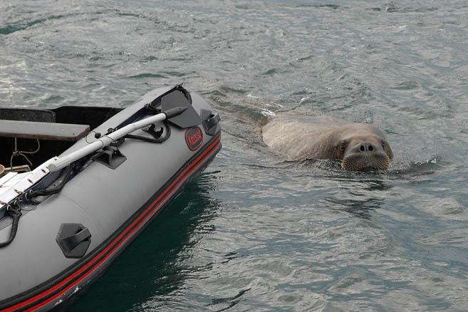 Незваный морж хуже незванного гостя