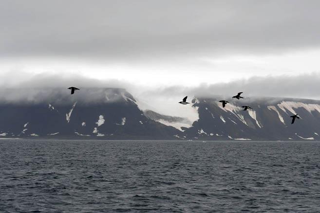 Похожи на пингвинов, а летают словно истребители