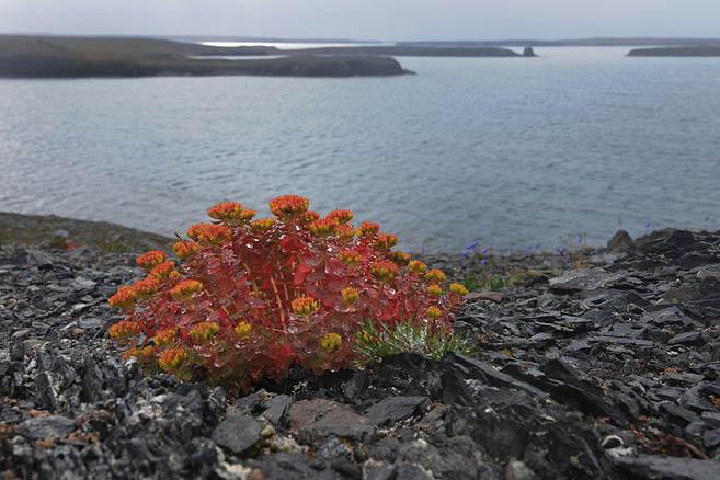 Цветы Новой Земли