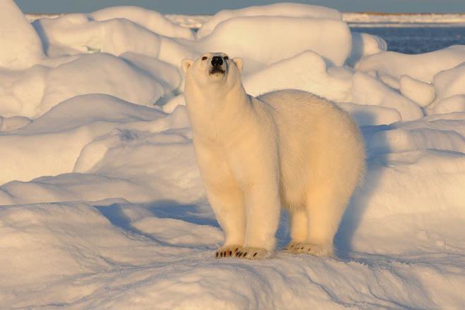 Фотограф снова любит медведей