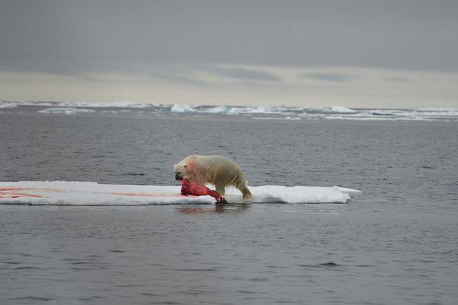 17 августа: «На одной из льдин мы увидели белого медведя уплетавшего нерпу...»