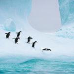 Пингвины везде