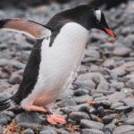 Пингвин Дженту