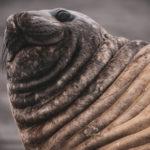 Морская слониха