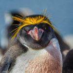 Золотовласый франт Macaroni Penguin